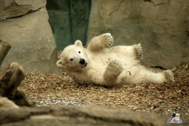 Eisbär Lilli im Zoo Bremerhaven 30.04.2016 Teil 2  02