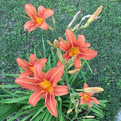 Our yard is a mess, but every May these appear, then the white lilies in June.