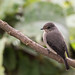 Small photo of African Dusky Flycatcher