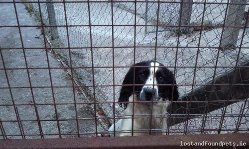 dog june found limerick 2016 croagh founddogcroaghlimerick