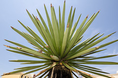 leaf, tree, flora, green, agave azul, close-up,