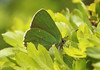 Butterfly - Green Hairstreak