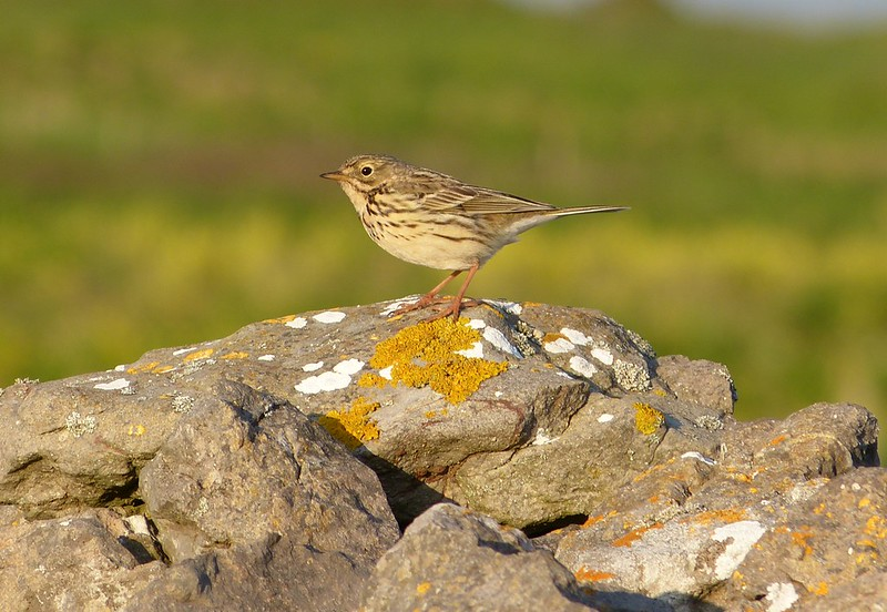 P1040990 - Meadow Pipit, Rhossili