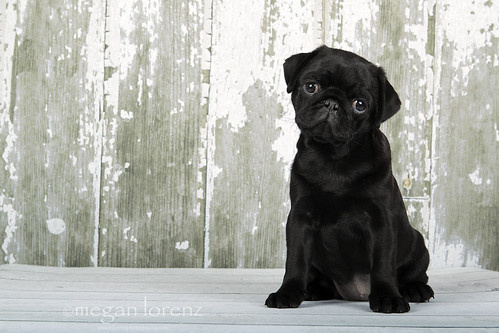 Pug Puppy by Megan Lorenz