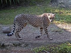 Cheetah 09-01-2011 5