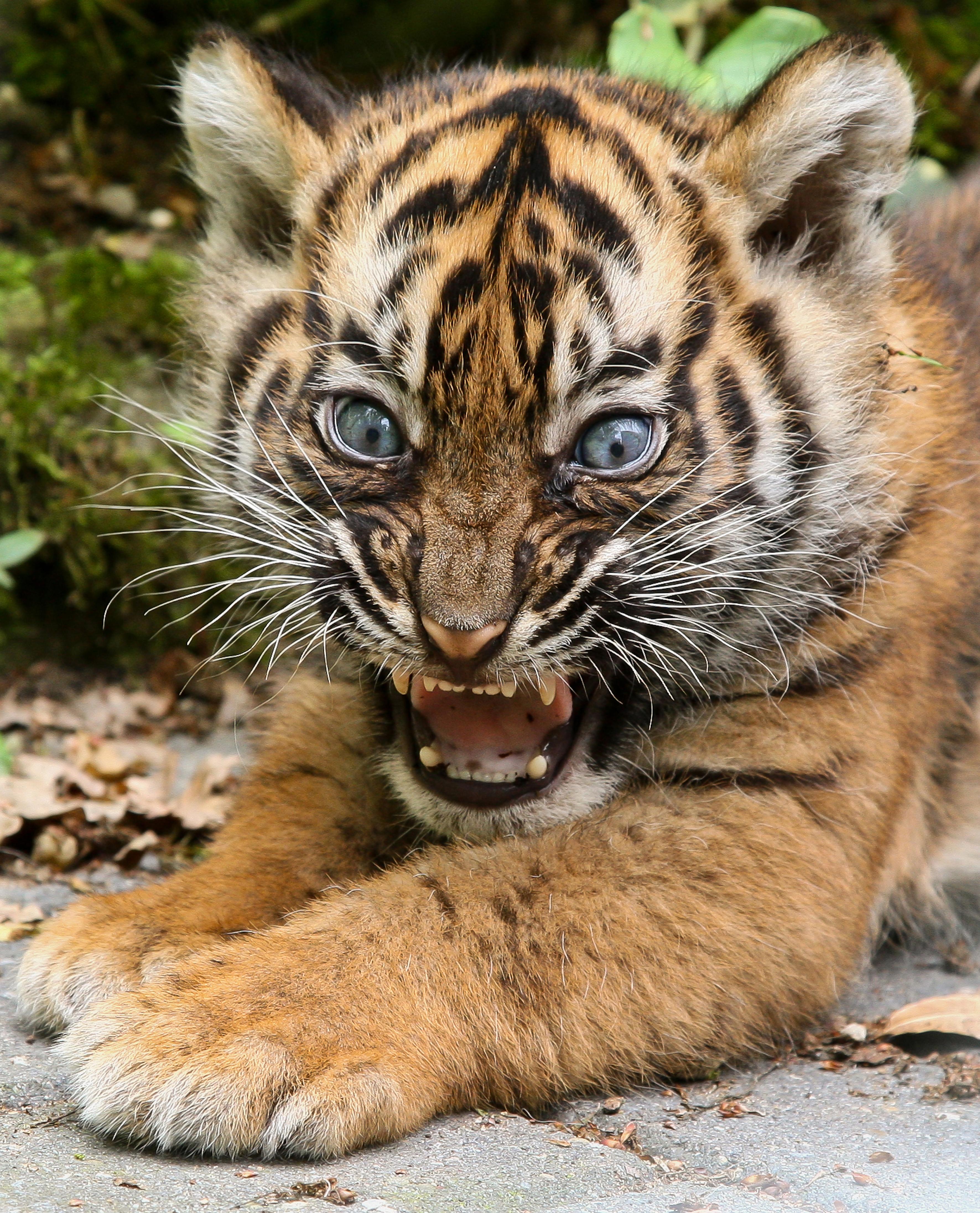 Bengal Cat Mom Kitten Taken Away