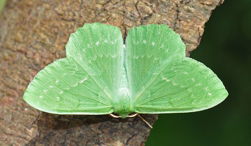 1666 Large Emerald Geometra papilionaria Blean by Kinzler Pegwell
