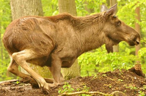 Elch Elche Wald Tierpark Wildpark Bad Mergentheim