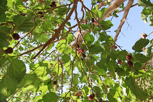 Mulberry fruits in Shanshan (Piqan) County ルクチュン、桑の実