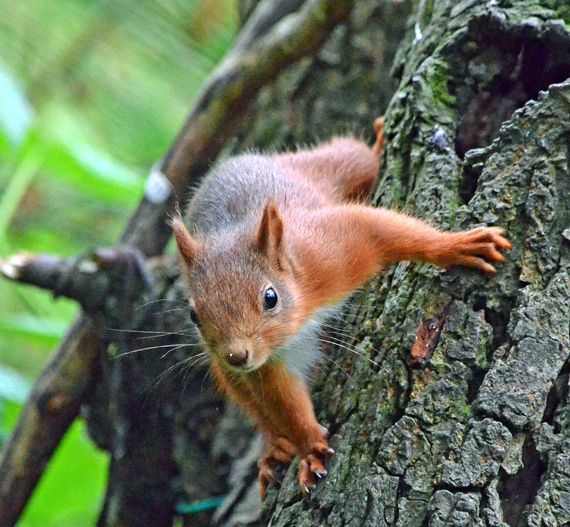 Red Squirrel (Monty!) - Montreathment Forest by Katie-louise1962