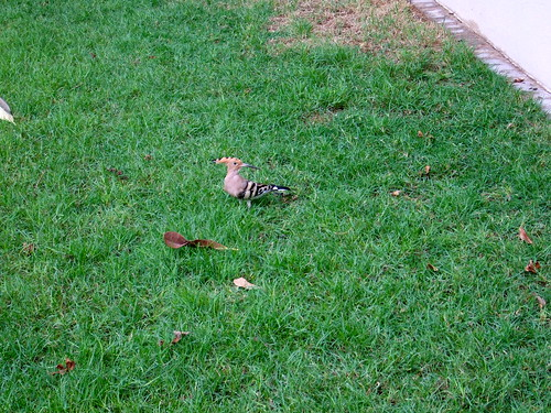 Hoopoes in the Yard