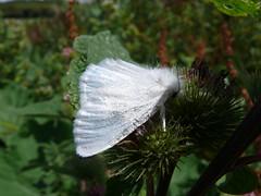 British Moths