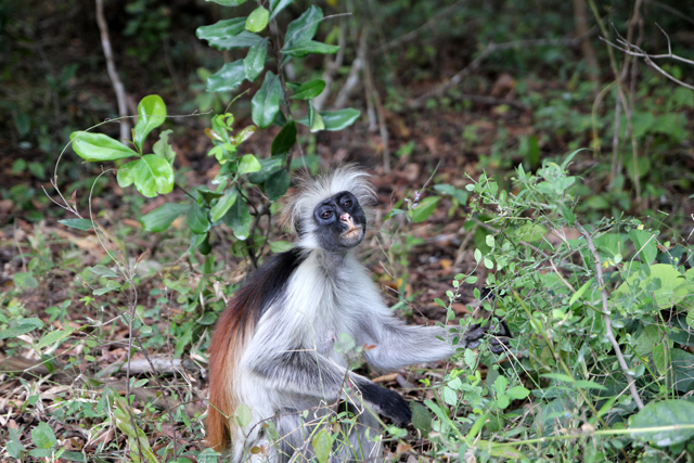 Watching a red colobus