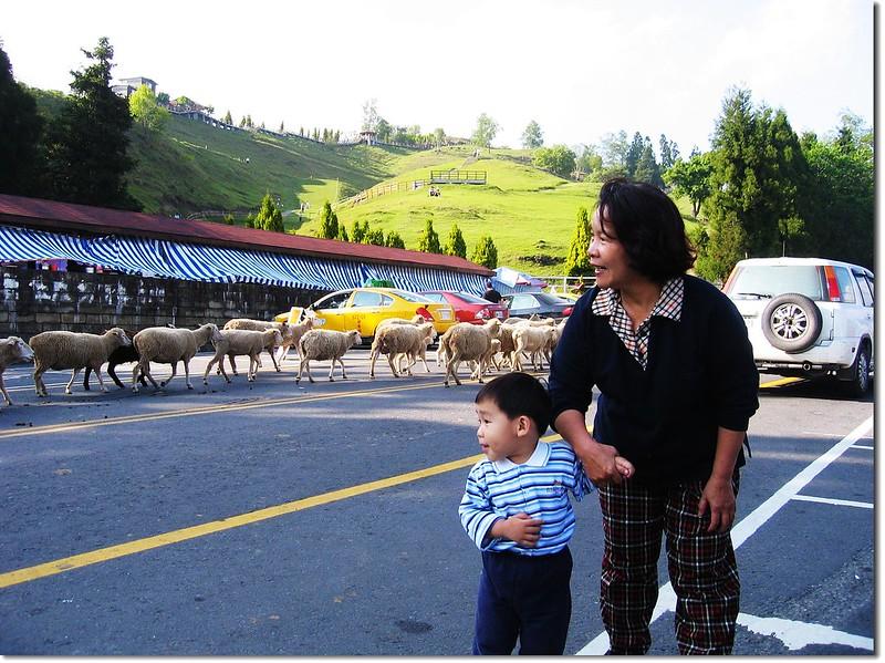 Jacob 的綿羊初體驗 1