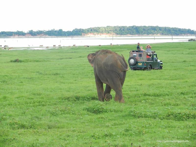 В Национальном парке Миннерия, Шри Ланка