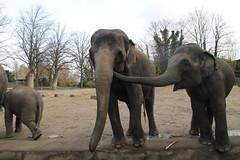 mahout(0.0), wildlife(0.0), animal(1.0), indian elephant(1.0), elephant(1.0), zoo(1.0), elephants and mammoths(1.0), african elephant(1.0), fauna(1.0), safari(1.0),