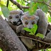 Crowned Lemurs, Ankarana (Andy Smith)