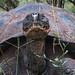 Galapagos Tortoise by : Nils