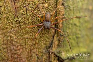 Crab Spider (Cebrenninus sp.) - DSC_0994