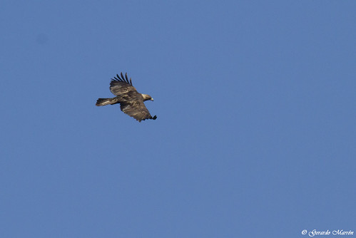 Aquila chrysaetos