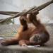 ひとり遊びが見つかって - A little orangutan plays alone -