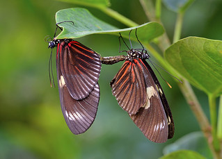 Mating Heliconius Butterflies, Wings of the Tropics, Fairchild Tropical Botanic Garden.