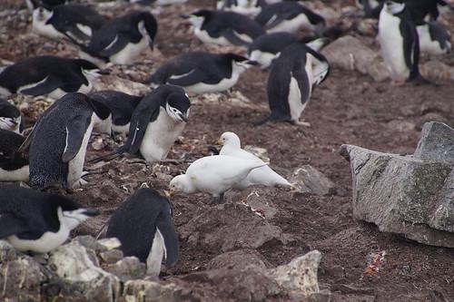105 Wandeling Halfmoon Island - kinbandpinguins en zuidpoolkippen