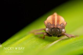 Treehopper (Coccosterphus sp.) - DSC_4822