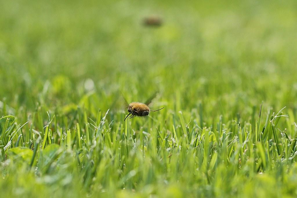 Croisement d'une mouche et d'un poussin... 13651037793_9e66f11fb3_b