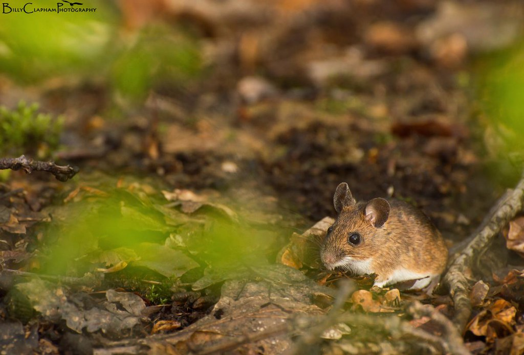 Wood mouse photo sheffield