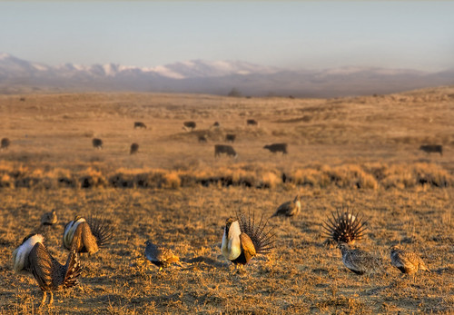 The greater sage grouse thrives in the sagebrush landscape of the West. USDA NRCS photo.