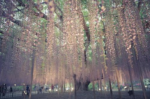Ashikaga Wisteria festival 20142014 31