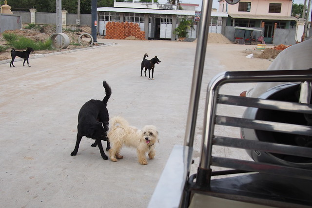 dogs sniffing each other, Phnom Penh, Cambodia