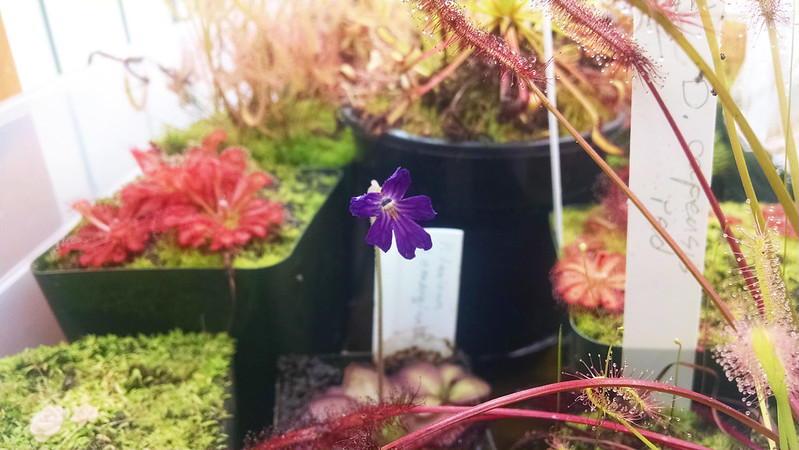 Pinguicula laueana x emarginata flower.