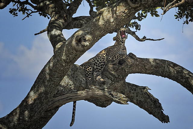 Leopardo en un árbol del Serengueti, Tanzania.