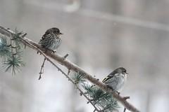 Great Backyard Bird Count Weekend