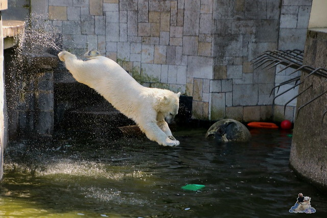 Eisbär Fiete im Zoo Rostock 07.05.2016  058
