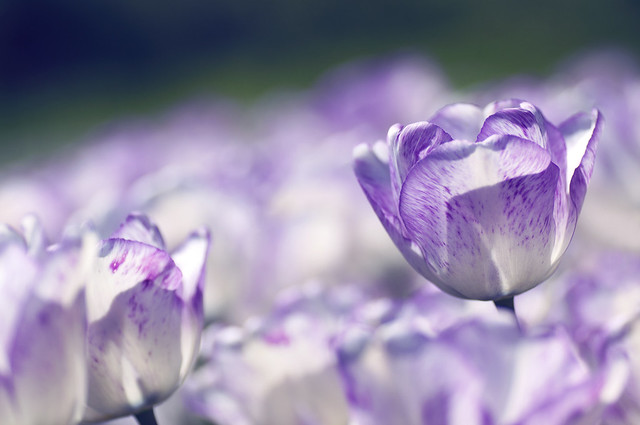 A tulip of deep lilac - my sentiment to you...