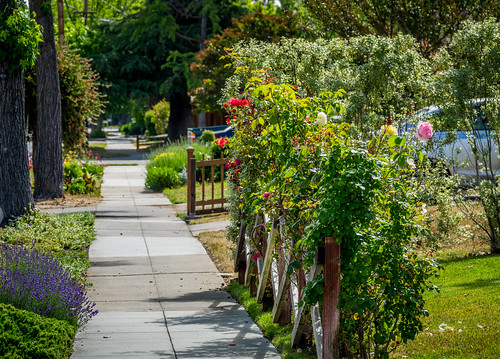 california ca morning pink flowers trees red roses plants white green grass car yellow fence garden us purple unitedstates outdoor relaxing sidewalk bloom losgatos landscaped bloomingflower