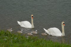 HolderBeautiful little swan family at thrybergh country park Rotherham