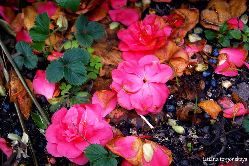 Опавшие цветы камелии
