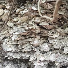 oyster middens a dozen feet deep in damriscotta #oystermiddens