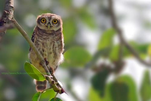 india bird nocturnal owl karnataka birdofprey harisankar 2015 spottedowlet hsspublic