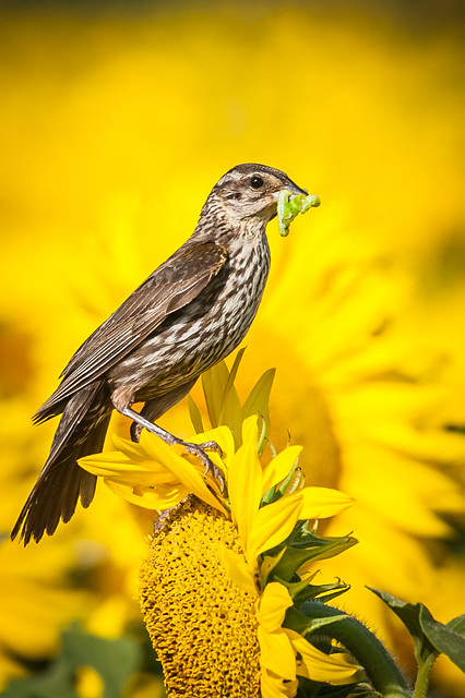 Red-winged Black Bird Female with Food