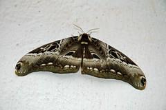 Brahmaeidae