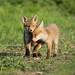 Fox cubs having a quiet moment rural Suffolk Vulpes vulpes www.mikerae.com by mikejrae