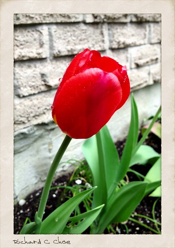 Tulip 5 (2013, 5.10) by rchoephoto