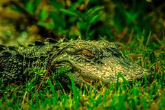 lizard(0.0), lacerta(0.0), animal(1.0), crocodile(1.0), grass(1.0), reptile(1.0), nature(1.0), macro photography(1.0), green(1.0), fauna(1.0), american alligator(1.0), close-up(1.0), scaled reptile(1.0), alligator(1.0), crocodilia(1.0), wildlife(1.0),