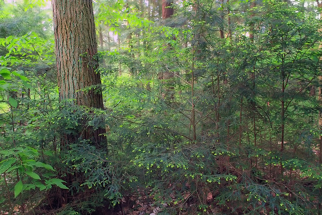 understory growth Title: growth of understory saplings in a forest exposed to elevated carbon dioxide: author(s): hartz-rubin, jennifer suzanne: doctoral committee chair(s).