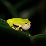 諸羅樹蛙一鼓作氣。(攝影:吳仁邦)